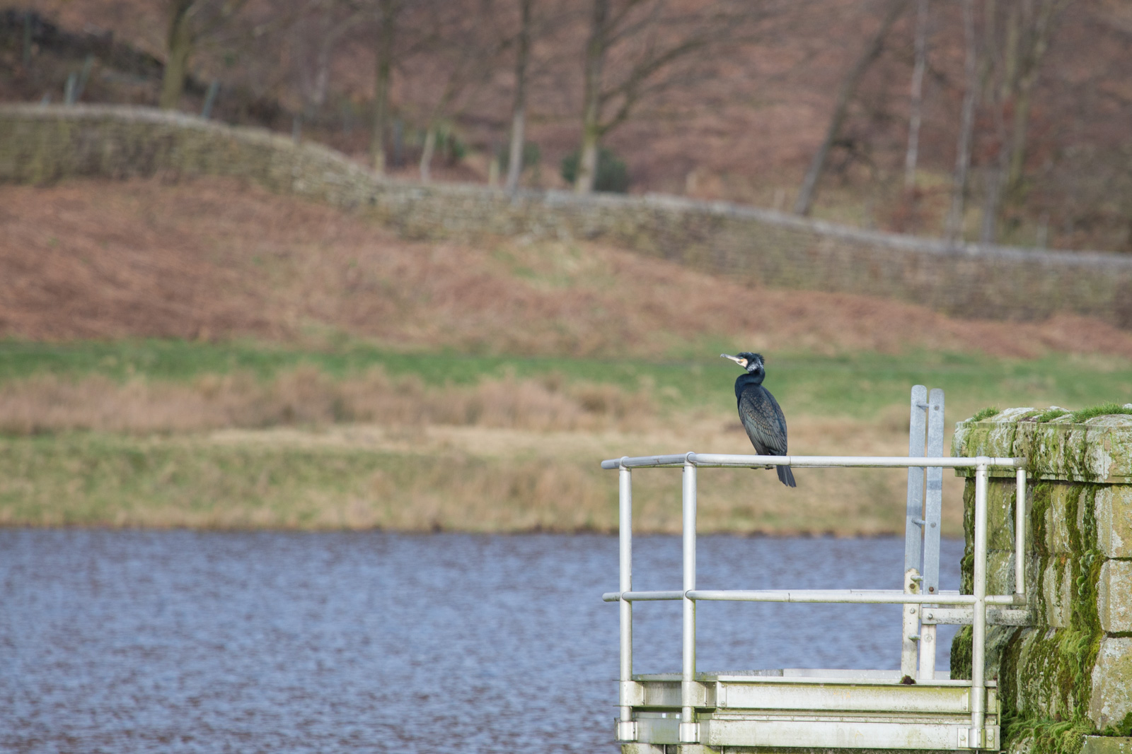 Cormorant at Churn Clough